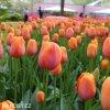Tulipán Triumph Dordogne 4
