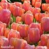 Tulipán - Dordogne
