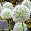 Česnek Allium Mount Everest 5