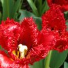 Tulipan Crystal Beauty 2