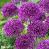 Česnek Allium Purple Sensation 2
