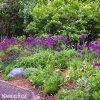 Česnek Allium Purple Sensation 4