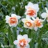 Narcis Replete 2