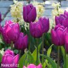Tulipan Purple Prince 4
