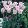 Tulipán Triumph Shirley 5