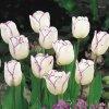 Tulipán Triumph Shirley 6