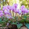 Bramborik hederifolium 02