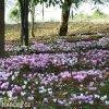 Bramborik hederifolium 04