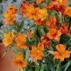 Alstroemeria aurea Orange King 03