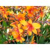 Crocosmie Babylon 02
