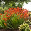 Crocosmie Babylon 04