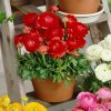 Ranunculus red 04