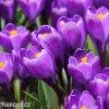 Krokus Flower record large flowering 3