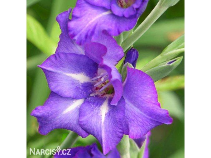 Gladiol Blue Isle 05