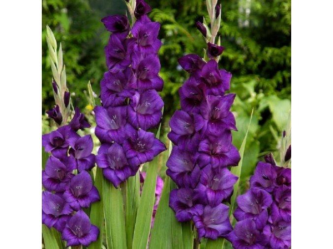 Gladiol Purple Flora 02