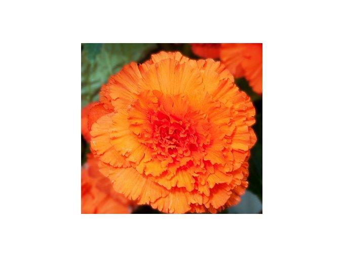 Begonie Třepenitá oranžová 02