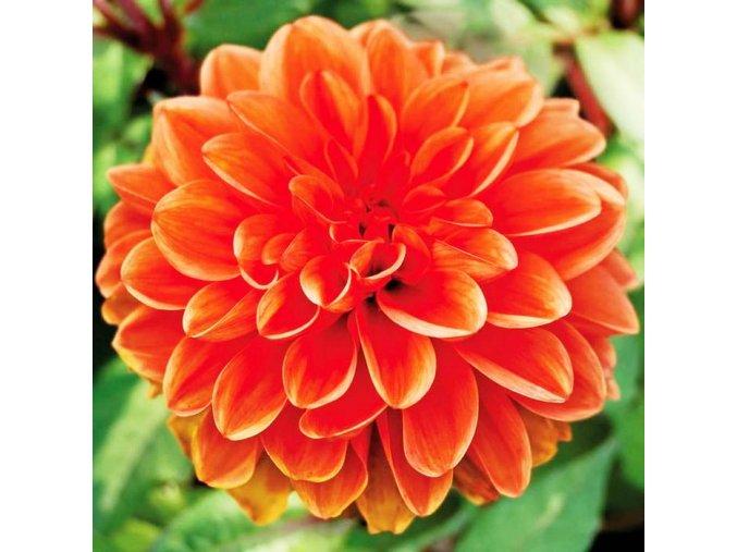 Jiřina dekorační - Orange Nugget