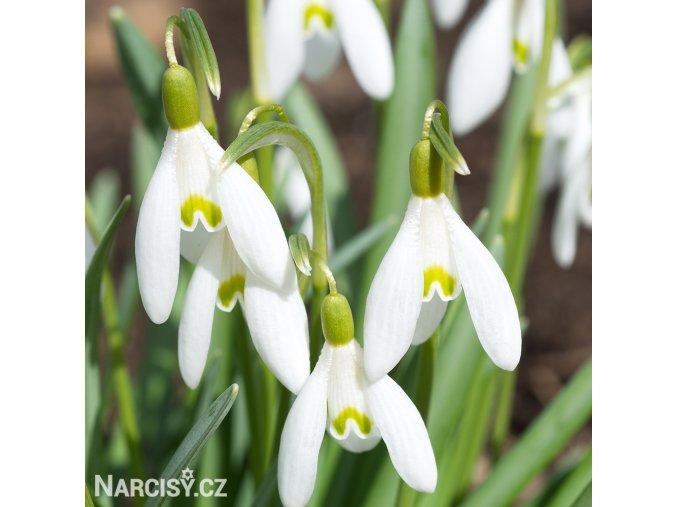 Sněženka Galanthus Woronowii 1