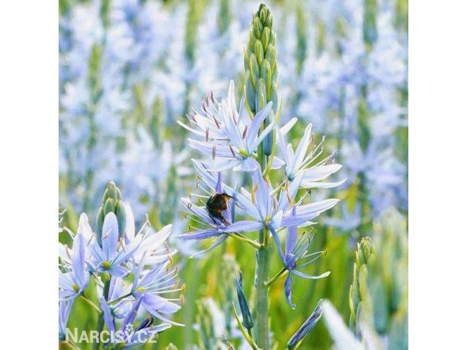 ladonik svetle modry camassia cusickii 1