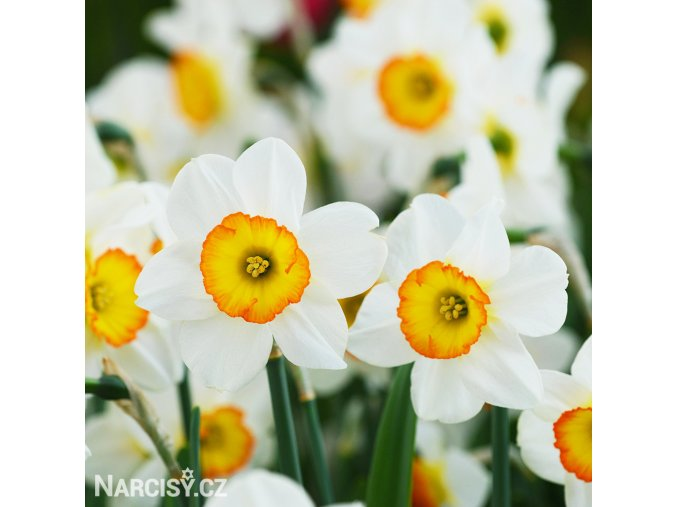 Narcis Flower Record 2