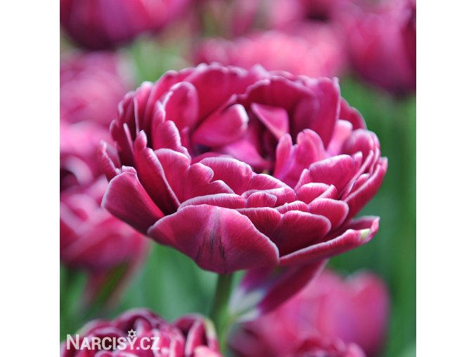 vinovy plnokvety tulipan dream touch 1