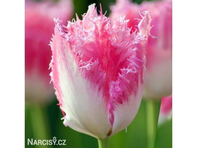 ruzovy trepenity tulipan fancy frills 1