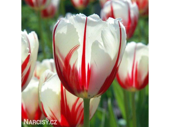 bilocerveny tulipan Triumph Carnaval de Rio 1