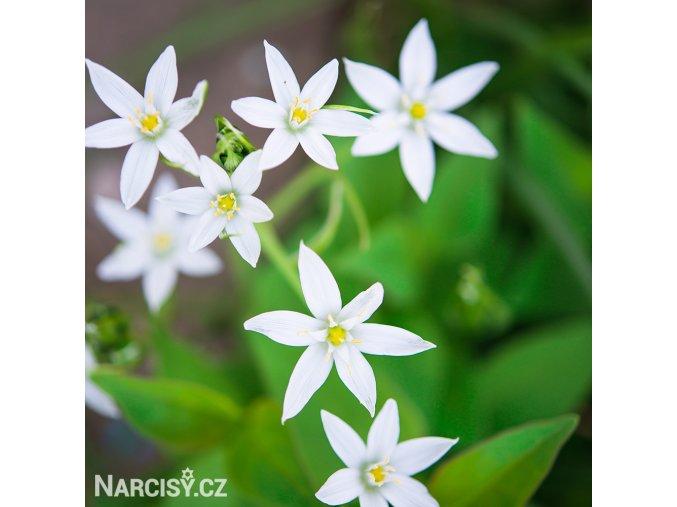 Allium Ursinum3