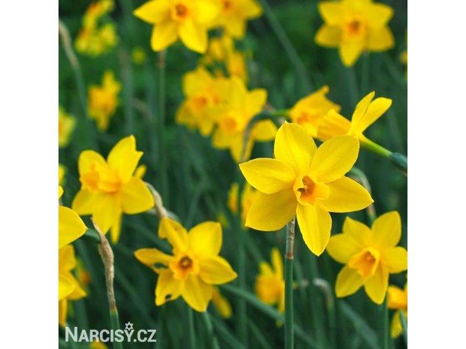Narcis Sweetness 5