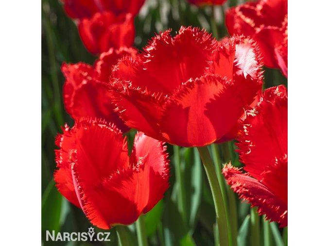 Tulipan Red Wing 2