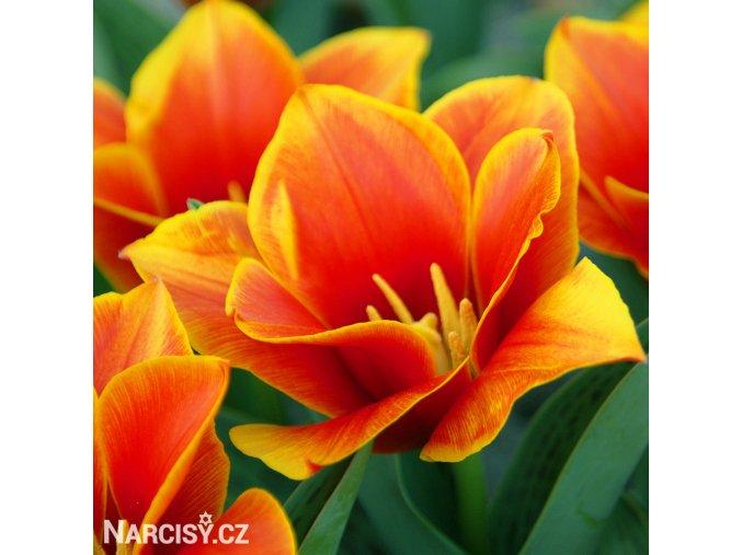 Tulipán Early Harvest 2