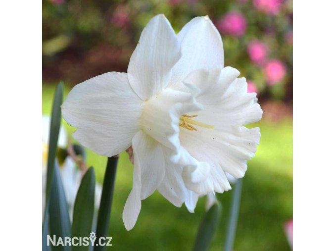 bílý narcis mount hood 4