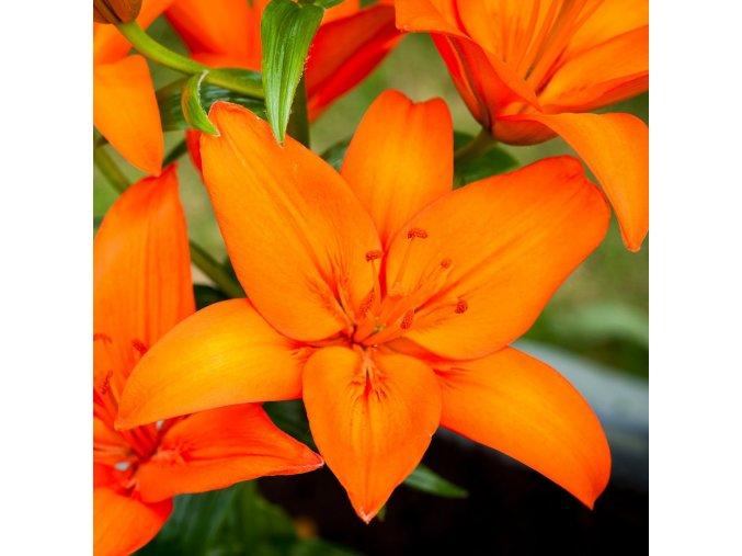 Lilie asijská oranžová - Orange ton