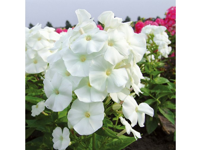 Phlox White 03