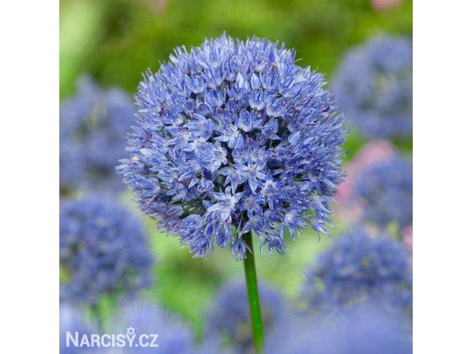 Česnek Allium Caeruleum 4