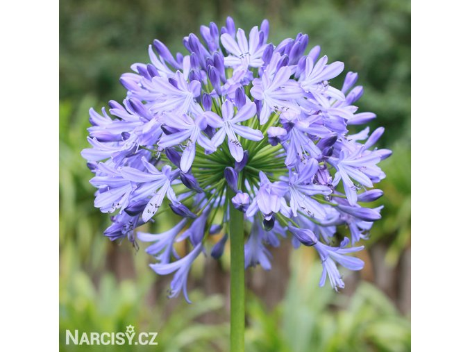 Agapanthus světle modrý 2
