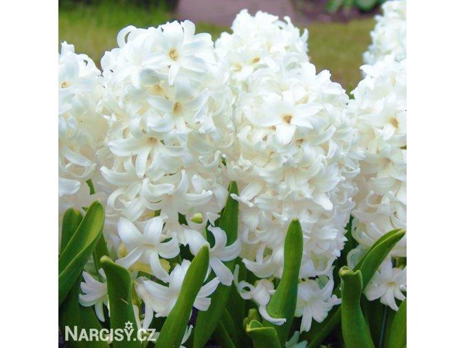 bily hyacint carnegie 1