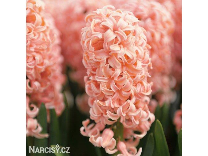 ruzovy hyacint gipsy queen 1