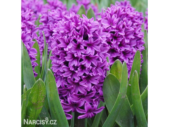 Hyacint Miss Saigon 1