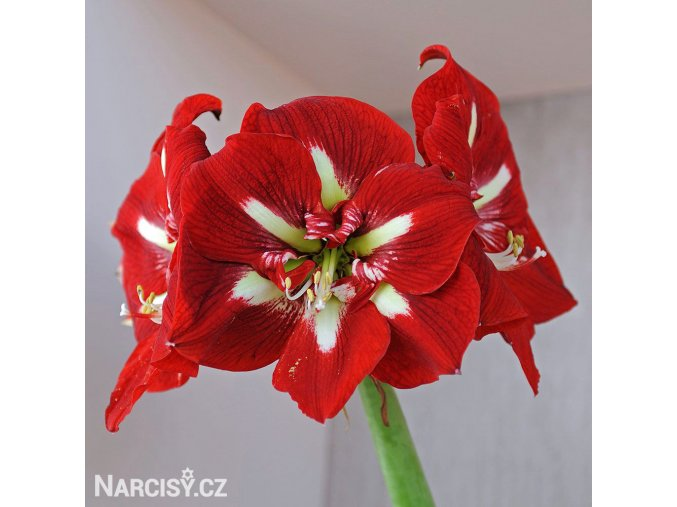 červený hvězdník amaryllis barbados 1