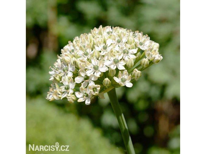 Allium Nigrum 3