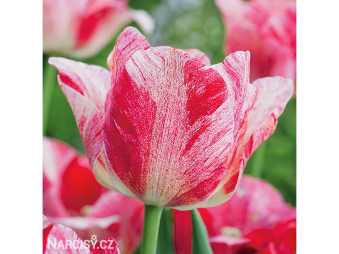 ruzovy tulipan triumph hemisphere 1