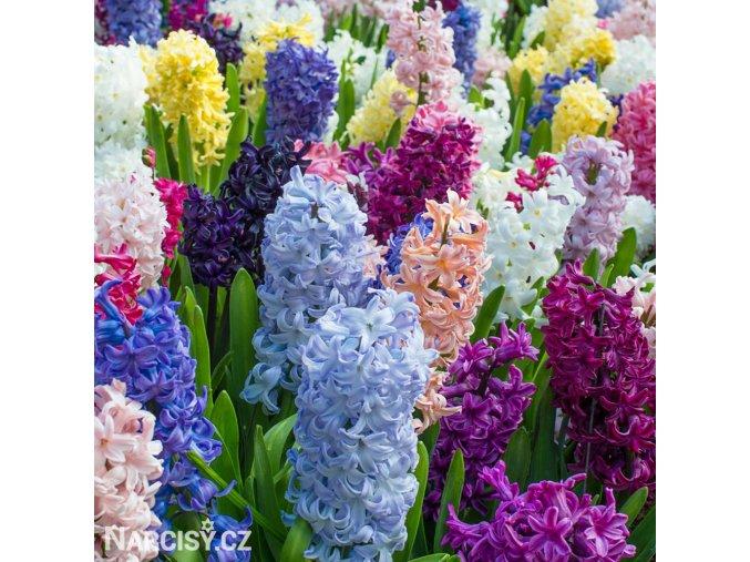 hyacinty smes mix barev 1