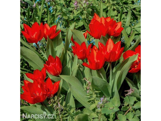 Tulipán Praestans Zwanenburg 4