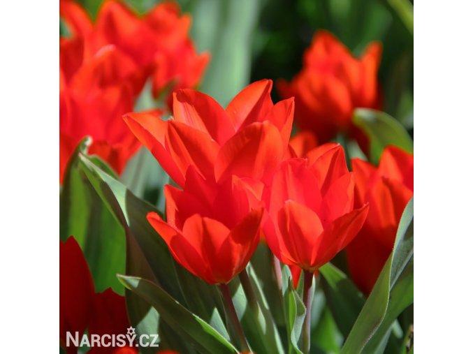 cerveny tulipan Praestans Zwanenburg 1
