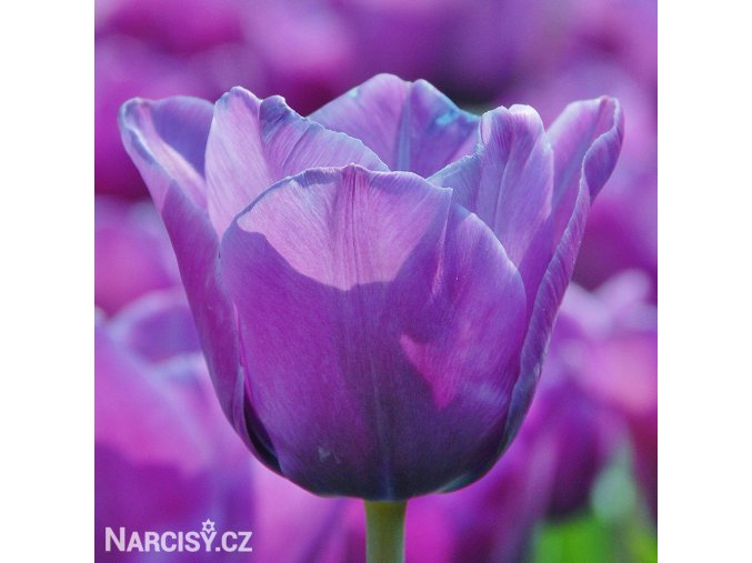 Tulipan Blue aimable 1