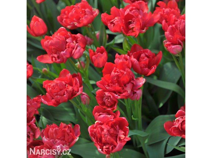 cerveny vicekvety tulipan esthatic 1