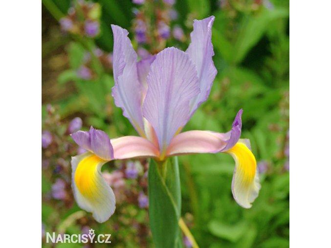 Iris rosario hollandica 1
