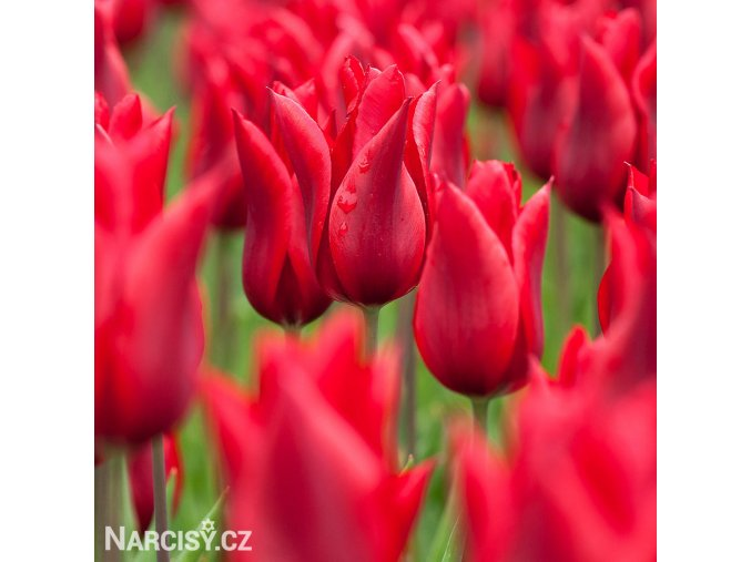 Tulipany Pretty Woman 2