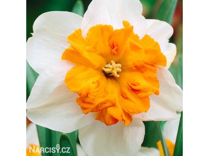 bílooranžový narcis split parisienne 1